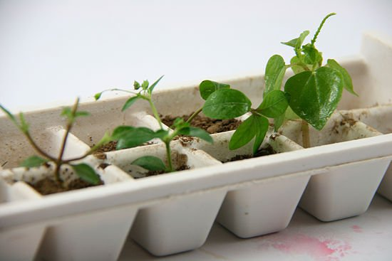 Ice Cube Tray into a Seed Starter